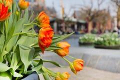 Canteiro de flores com as tulipas vermelhas e amarelas, casas defocused de Amsterdão Fotografia de Stock