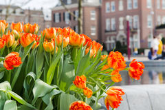 Canteiro de flores com as tulipas vermelhas e amarelas, casas defocused de Amsterdão Foto de Stock