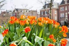 Canteiro de flores com as tulipas vermelhas e amarelas, casas defocused de Amsterdão Imagem de Stock