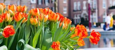 Canteiro de flores com as tulipas vermelhas e amarelas, casas defocused de Amsterdão Imagens de Stock