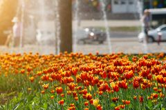 Canteiro de flores com as tulipas vermelhas e amarelas no fundo do parque da cidade com fonte fotos de stock royalty free