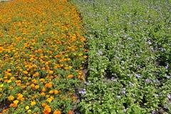 Canteiro de flores com cravos-de-defunto alaranjados e os flossflowers violetas verticais imagens de stock royalty free