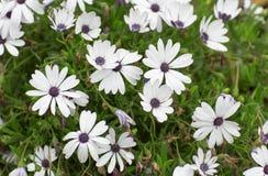 Canteiro de flores com flores brancas Imagem de Stock