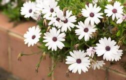 Canteiro de flores com flores brancas Imagem de Stock Royalty Free