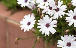 Canteiro de flores com flores brancas Fotografia de Stock Royalty Free