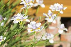 Canteiro de flores com flores brancas Foto de Stock