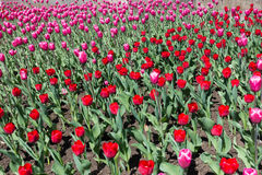 Canteiro de flores com florescência tulipas cor-de-rosa e vermelhas Imagens de Stock Royalty Free