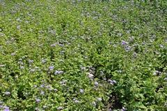 Canteiro de flores com lotes do houstonianum do Ageratum imagem de stock royalty free