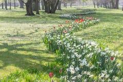 Canteiro de flores com narcisos amarelos brancos Foto de Stock