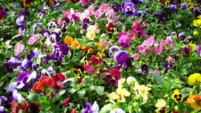 Canteiro de flores com a viola de muitos pansies tricolor video estoque