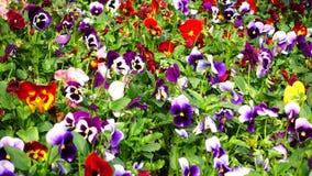 Canteiro de flores com a viola de muitos pansies tricolor filme