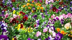 Canteiro de flores com a viola de muitos pansies tricolor vídeos de arquivo