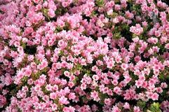 Canteiro de flores cor-de-rosa Imagem de Stock