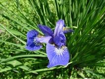 Canteiro de flores da íris Fotografia de Stock