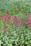 Canteiro de flores da flor cor-de-rosa Purpletop Vervain do vervain brazilian imagem de stock royalty free