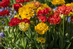 Canteiro de flores das tulipas Fotos de Stock Royalty Free