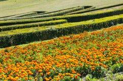Canteiro de flores do cravo-de-defunto do verão e buxo aparado no montanhês do parque Fotos de Stock