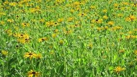 Canteiro de flores do Rudbeckia preto-eyed-susans da flor filme