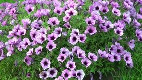 Canteiro de flores que crescem petúnias roxos com listras brancas Imagem de Stock Royalty Free