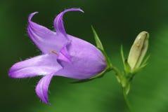 Canterbury bellflower (latifolia van het Klokje) Stock Afbeeldingen