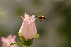 Canterbury-bells with a bee. (Campanula medium L Royalty Free Stock Photo