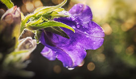 Canterbury bells. Champion Campanula, commonly known as Bellflower, is a well-known flower Royalty Free Stock Photography