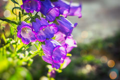 Canterbury bells. Champion Campanula, commonly known as Bellflower, is a well-known flower Stock Photos