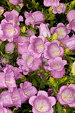 Canterbury Bells -Champion Pink- (Campanula medium) Flower Stock Image