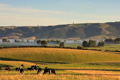 Canterbury Scene. Cows grazing on a foggy early morning in Canterbury, New Zealand South Island Royalty Free Stock Image