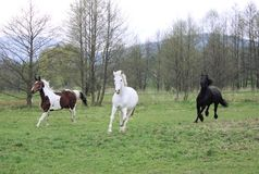Cantering horses Stock Photography