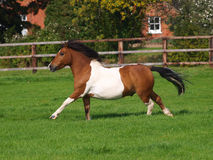 Cantering Pony Stock Photography