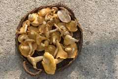 Cantharellus Royalty Free Stock Photography