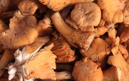 Cantharellus Royalty Free Stock Photos