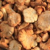 Cantharellus Royalty Free Stock Photo