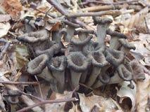 Cantharellus cibarius Stock Photo