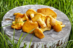 Cantharellus cibarius, chanterelle Royalty Free Stock Photography