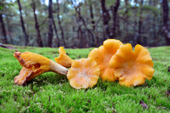 Cantharellus cibarius Royalty Free Stock Image