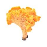 Cantharellus cibarius Stock Image