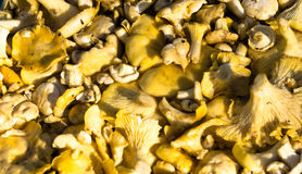 Cantharellus cibarius, commonly known as the chanterelle, golden chanterelle or girolle. Raw fresh chanterelle mushroom background. Cantharellus cibarius or Stock Photo