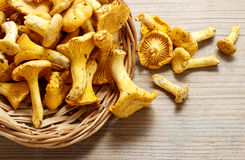 Cantharellus cibarius, commonly known as the chanterelle, Stock Photos