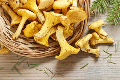 Cantharellus cibarius, commonly known as the chanterelle, Royalty Free Stock Image