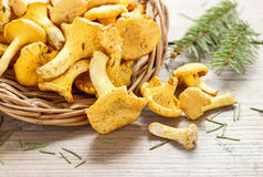 Cantharellus cibarius, commonly known as the chanterelle, Stock Photo