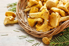 Cantharellus cibarius, commonly known as the chanterelle, Stock Photography