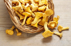Cantharellus cibarius, commonly known as the chanterelle, Royalty Free Stock Photography