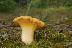 Cantharellus cibarius fungus Stock Image