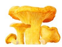 Cantharellus cibarius isolated on white background Stock Image