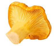 Cantharellus cibarius isolated on white background Royalty Free Stock Image
