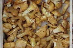Cantharellus cibarius mushroom background Royalty Free Stock Images