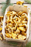 Cantharellus cibarius. Mushrooms in basket. Royalty Free Stock Photography