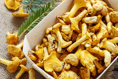 Cantharellus cibarius. Mushrooms in basket. Stock Photo